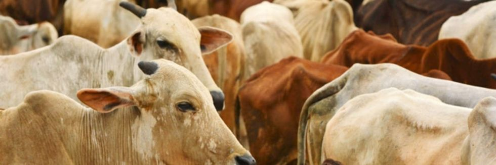 """Possession of Skin of Dead Cows, Bullocks Not An Offence"": Bombay High Court"